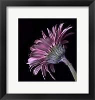 Framed Pink Gerber Daisy