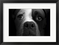 Framed Boxer Pup