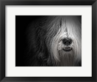 Framed Sheepdog