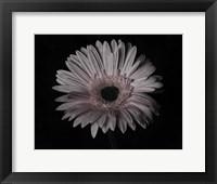 Framed Gerber Daisy