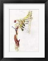 Framed Brachial Plexus