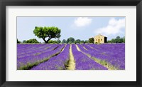 Framed Lavender Fields, France