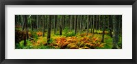 Framed Cinnamon Ferns and Red Spruce Trees in Autumn, Acadia National Park, Maine