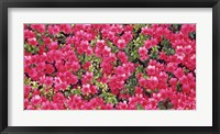 Framed Red Azalea Flowers, Sacramento, California
