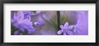 Framed African Lily, Sacramento, California