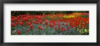 Framed Tulips Blooming in St. James's Park, London, England