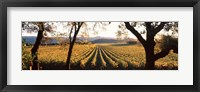 Framed Vines in Far Niente Winery, Napa Valley, California