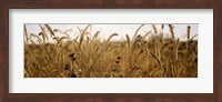 Framed Prairie Grass in a Field