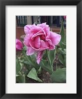 Framed Colorado Tulip