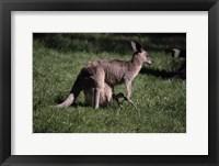 Framed Kangaroo 1