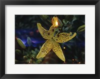Framed Lily of the Night