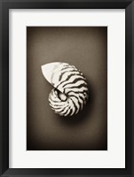 Framed Conch Shell