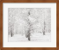 Framed Snow Covered Cottonwood Trees