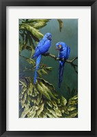 Framed Pair of Blue Parrots