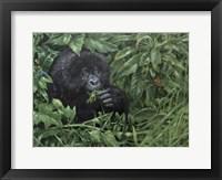 Framed Gorilla 1