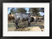 Framed Cattle