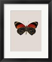 Framed Agrias Amydon