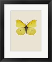Framed Gonepteryx Rhamni