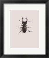 Framed Lucanus Cervus