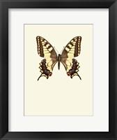 Framed Papilio Machaon
