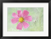 Framed Cosmos Candy