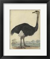 Framed Ostrich