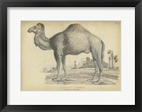 Framed Camel Bactarnian
