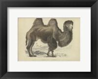 Framed Camel Dromedary