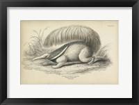 Framed Great Anteater