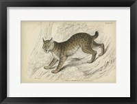 Framed Felis Canadenis Lynx