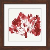 Framed Red Coral IV