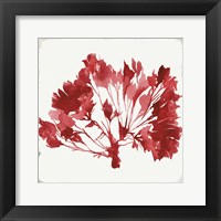 Framed Red Coral IV