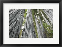 Framed Redwoods Forest IV BW with Color