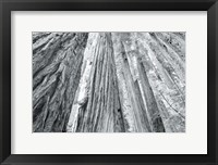 Framed Redwoods Forest IV BW