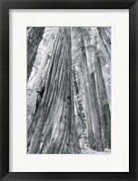 Framed Redwoods Forest III BW