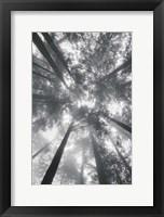 Framed Fir Trees I BW