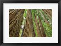 Framed Redwoods Forest IV