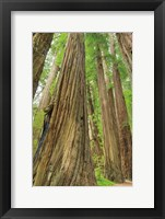 Framed Redwoods Forest III