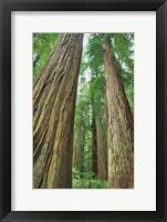 Framed Redwoods Forest II