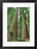 Framed Redwoods Forest I