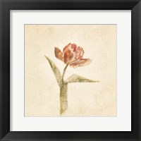 Framed Flaming Parrot Tulip on White Crop