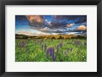 Framed Lupine Sunset