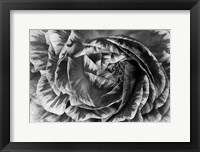 Framed Ranunculus Abstract VI BW