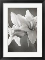 Framed White Amaryllis II