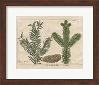 Framed Antique Botanical XXII