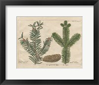 Framed Antique Botanical XXII