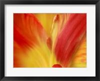 Framed Tulipa