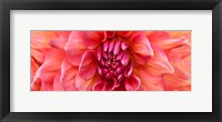 Framed Perfect Dahlia