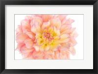 Framed Coral Dahlia