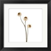 Framed Strawflower